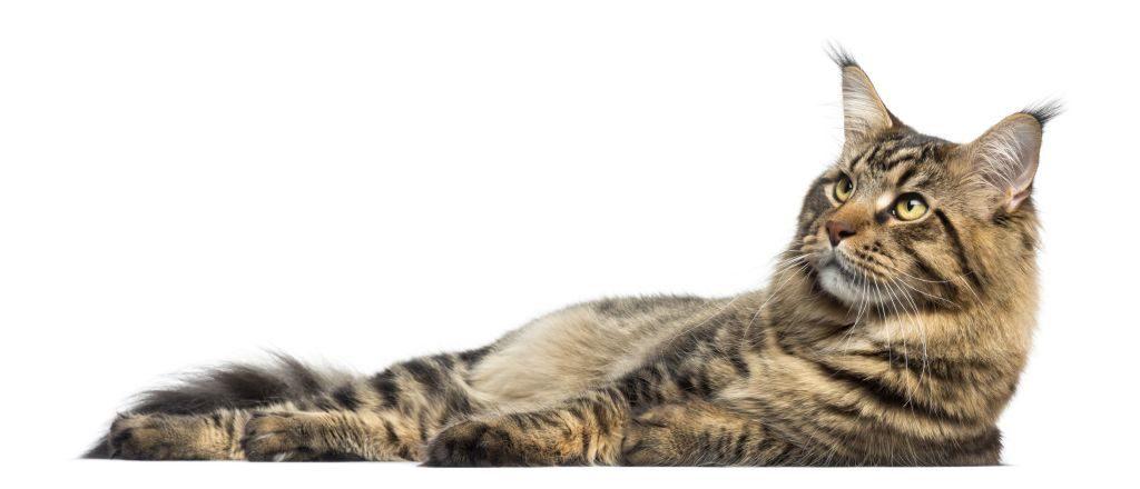 Graugetigerte Maine-Coon-Katze