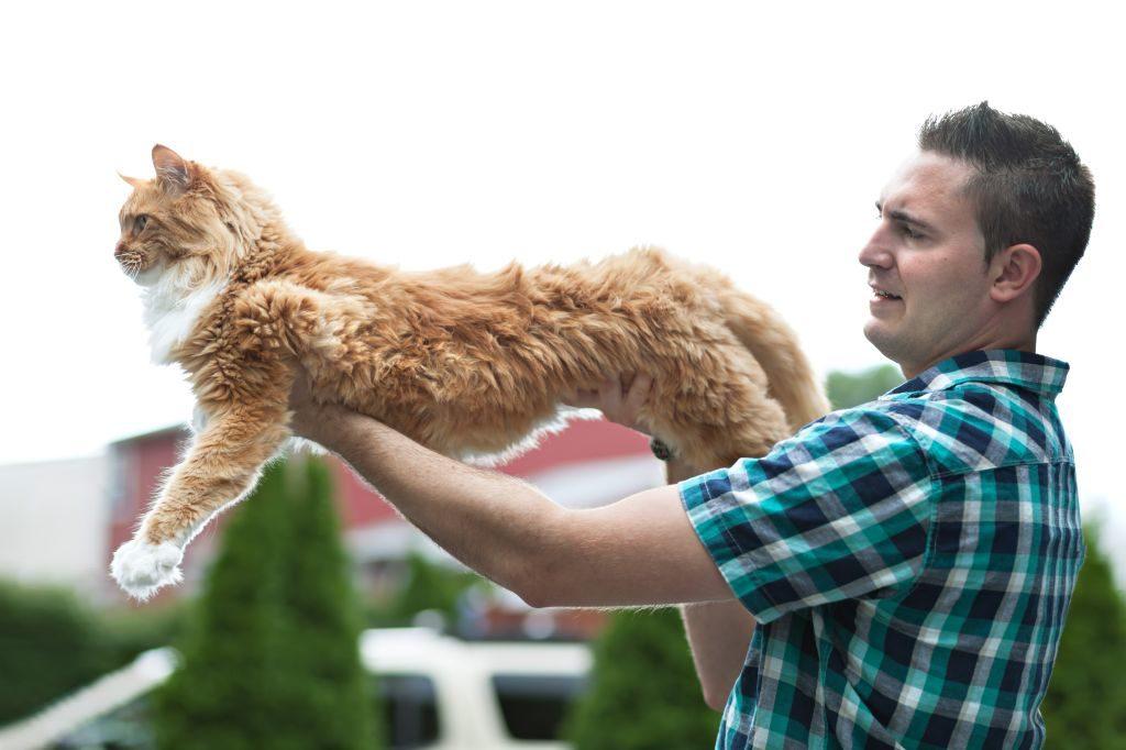 Die Maine-Coon-Katzen werden sehr lang