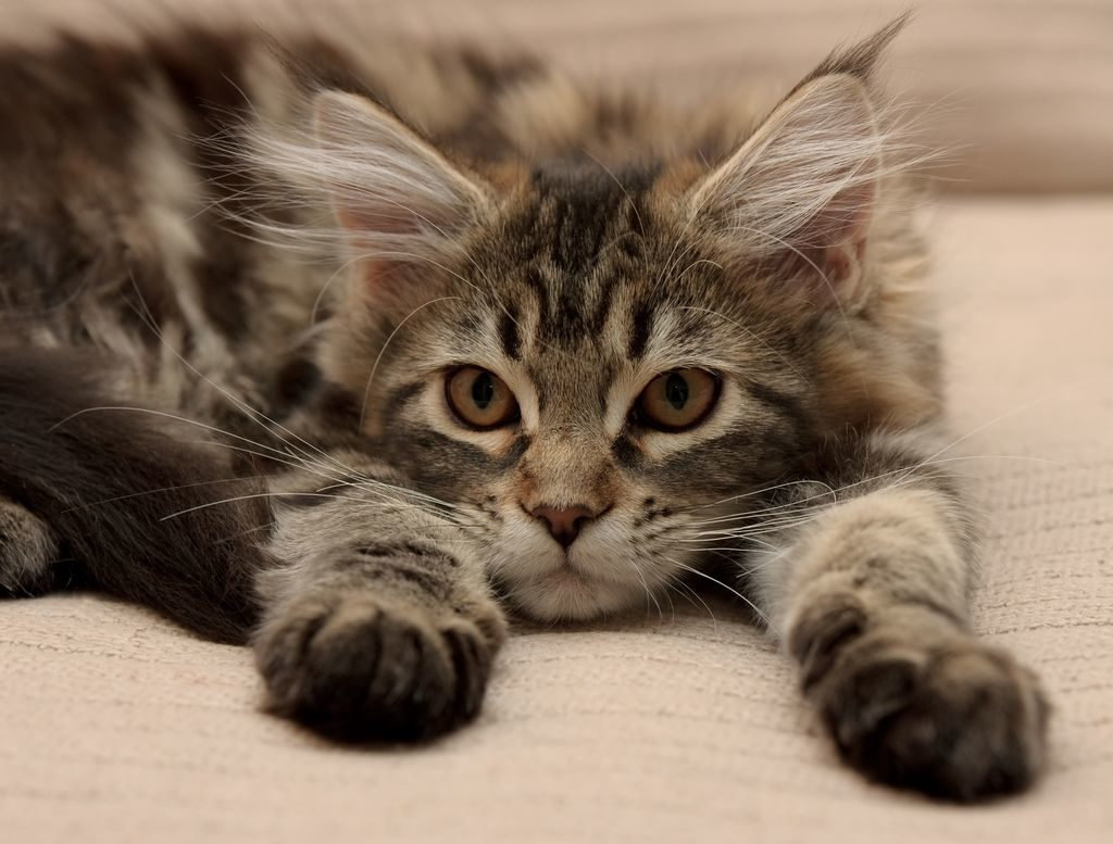 Ein gesundes Kitten von einem seriösen Züchter