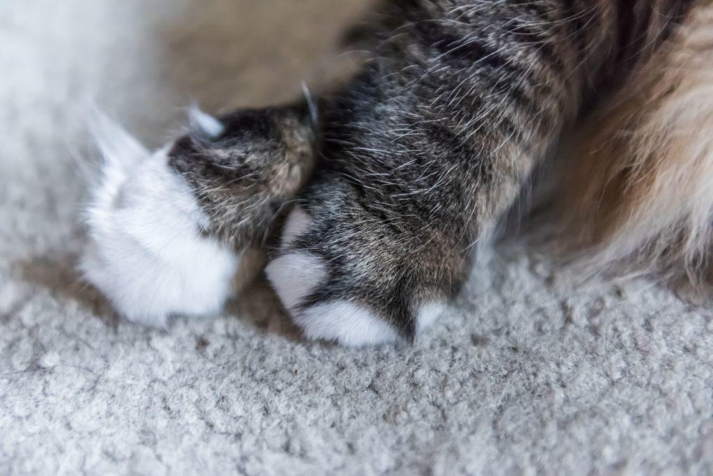 Katzenpfoten sind empfindlich, brauchen aber nicht viel Pflege vom Menschen