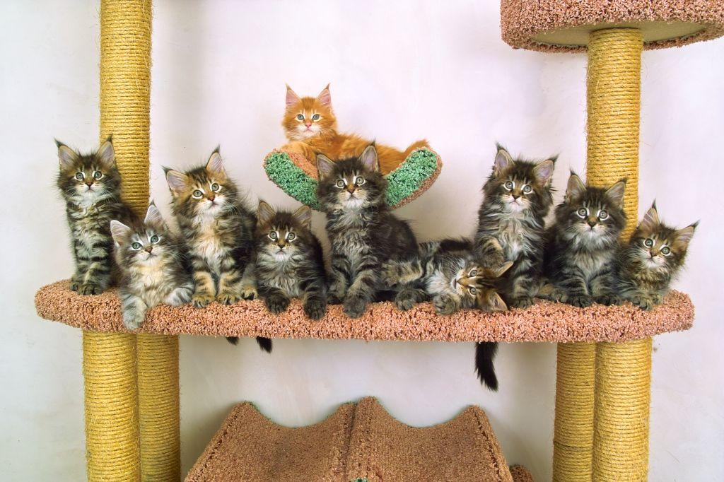 Züchten bedeutet viele Kätzchen, von denen man sich trennen muss